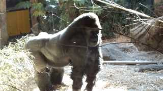 Drumming gorilla, while running.ゴリラ、走りながらドラミング。 Ueno...