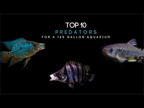 Top 10 Predator Fish For A 125 Gallon Aquarium