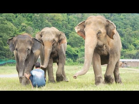 Man Playing With His Elephant Family | Elephant Nature Park