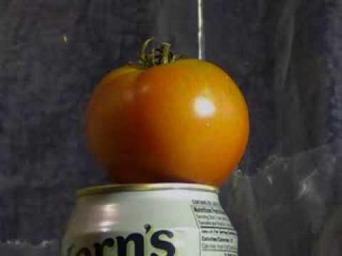 Bad Tomato vs Crosman Destroyer