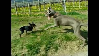 Our Dogs Run In The Vineyard - Miniature Pinscher Vs Weimaraner