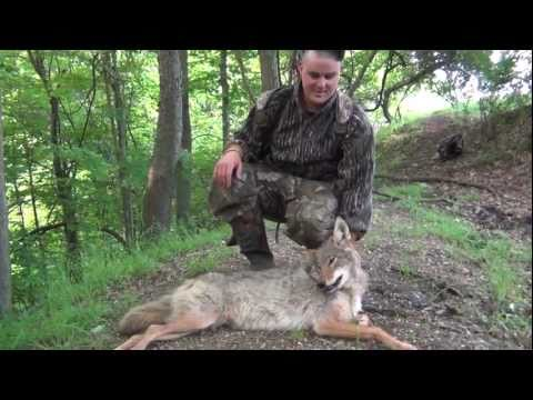 Spring Gobbler Coyote Kill Pennsylvania 2011