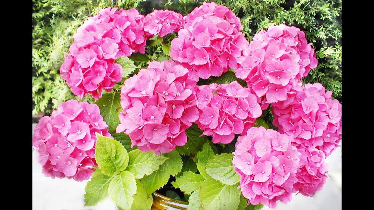 Hort ncias como cuidar hort ncias how to care cuidado - Cuidados de las hortensias ...