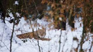 Romania - The Missing Lynx