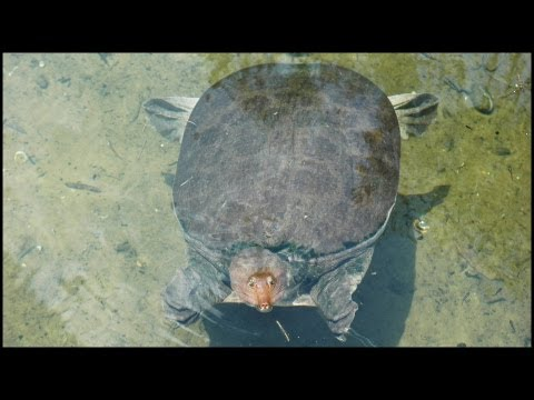 Florida Soft Shell Turtle (Apalone ferox)