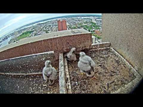 Peregrine Falcon Cam Highlights 2016