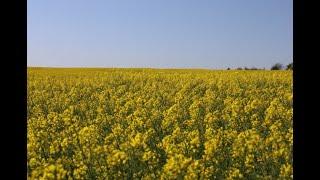 Ефективните решения:  Растителна защита  в рапица от Кортева Агрисайанс