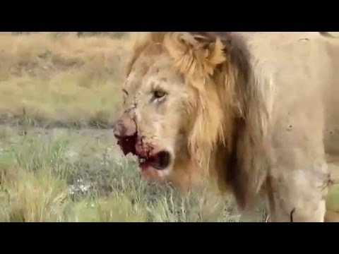 Download Zebra Kick Lion is Seriously Injured