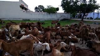 Video Goat | goats | sheep | funny | animals | crowd | flenty  | for ever chèvre | | download MP3, 3GP, MP4, WEBM, AVI, FLV Oktober 2018