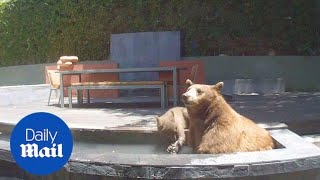 Family of bears escape the heat by diving into backyard pool