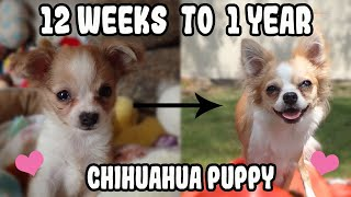 Chihuahua Puppy Transformation from 12 Weeks Old to 1 Year Old | Bella Turns One This Month!