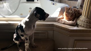 3 Month Old Great Dane Puppy Acknowledges That Cats Rule