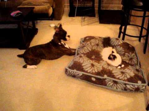 Cutest Boxer Dog vs. Ragdoll Cat