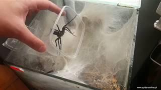 Baixar Linothele fallax 🕷 ciężka kopulacja i info hodowlane - spidersonline.pl