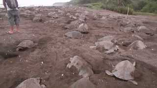 Olive Ridley Arribada - Leatherback Trust Around the World #4