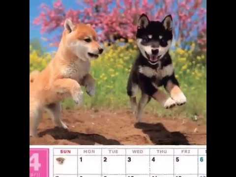 shiba-inu-wall-calendar-2019-with-adorable-shiba-dogs'-pictures-by-@shibarichy