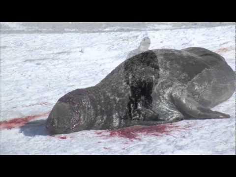 Grey Seal Hunt 2011 - Hay Island