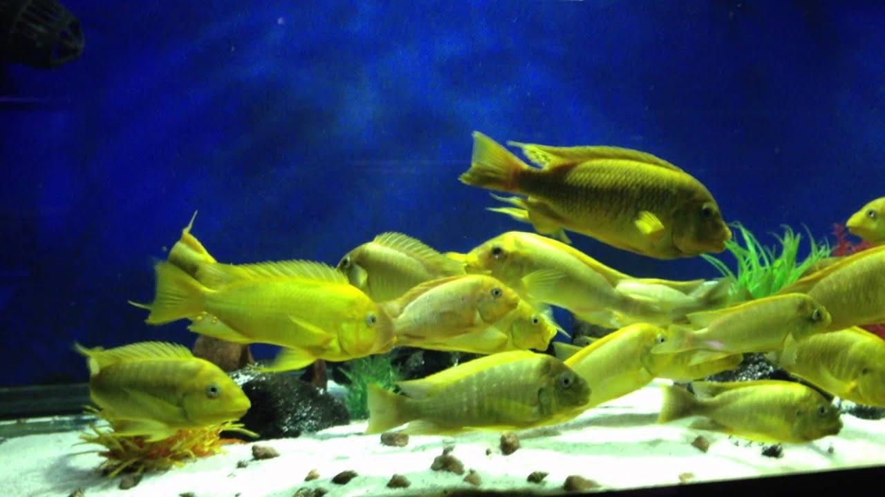 Картинки по запросу Petrochromis sp. 'moshi yellow Ikola