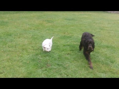 West Highland White Jess with Gordon Setter McK & Bichon Peps.