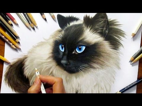 Drawing Subscribers Pets 2 Zida Ragdoll Cat From