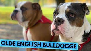 Olde English Bulldogge  TOP 10 Interesting Facts