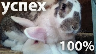 Случка кроликов: правила спаривания, охота у крольчихи.