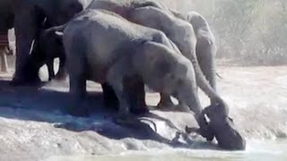 Herd Of Elephants Rescues A Calf - So Beautiful! -  Latest Sightings