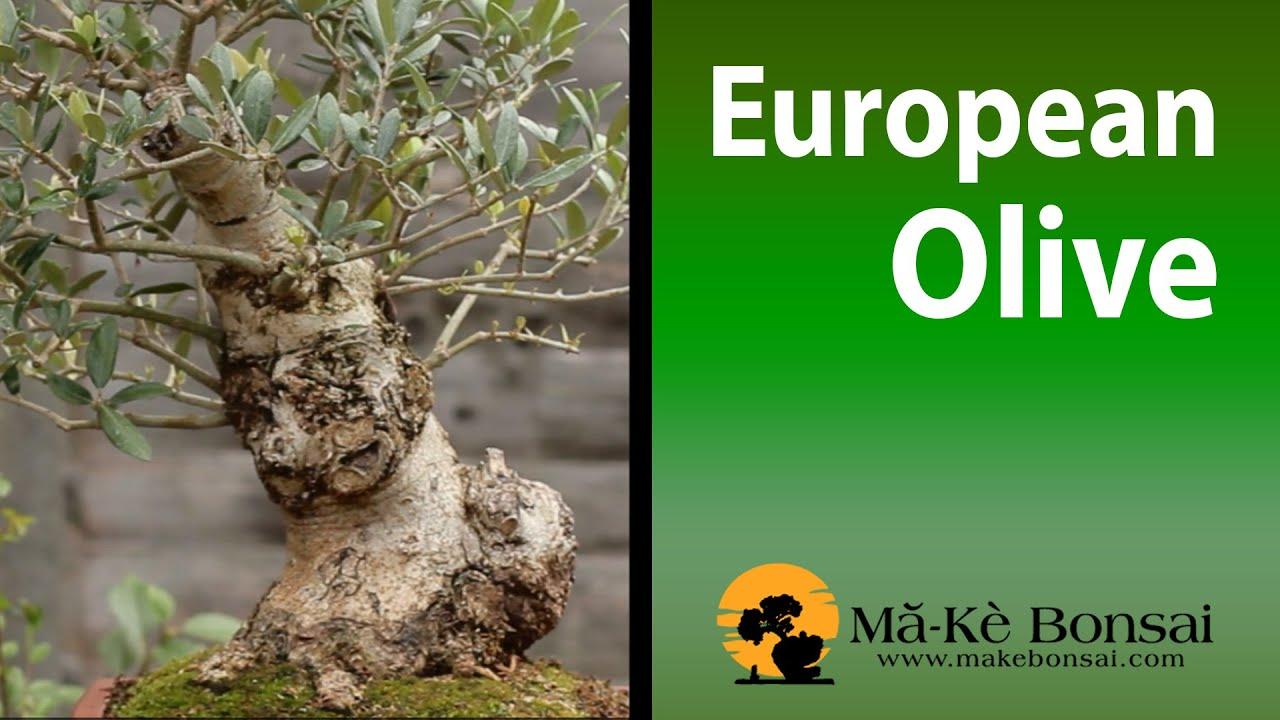 83 olive bonsai tree european olives olivio ulivo olea for How to make an olive tree into a bonsai