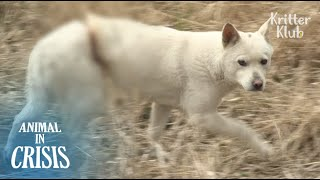 For 6 Months A Dog Was Agonized By A Snare Stuck To Her | Animal in Crisis EP78