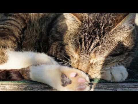 How to Breed Domestic Cat Selectively - Tips on Breeding Domestic Cat