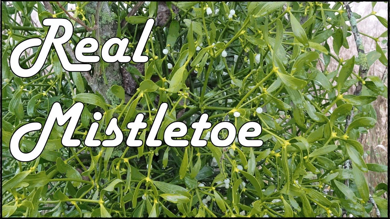 this is what real mistletoe looks like in the wild youtube