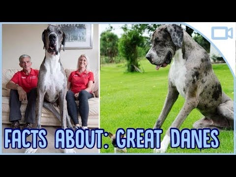 Facts About Great Danes!