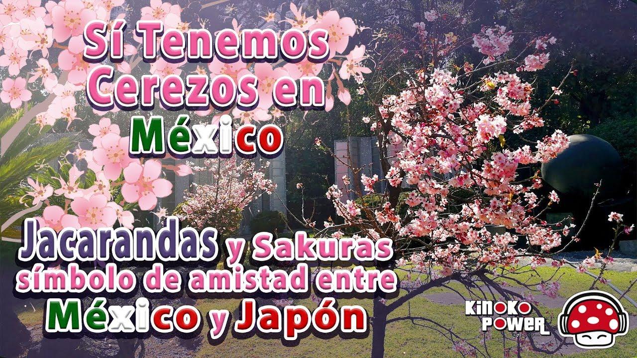 Arbol De Cerezo Japones sakura y jacaranda, símbolo de amistad entre méxico y japón. leyenda de  sakura.