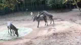 Zebras beim Sex