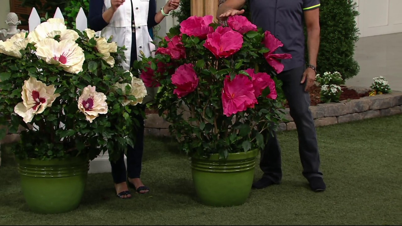 Cottage Farms 2 Pc Top Shelf Giant Hardy Hibiscus On Qvc Youtube