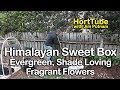 Fragrant, Evergreen, Low Growing, Shade Plant - Himalayan Sweet Box