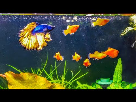 How To Introduce A New Betta To Your Community Tank