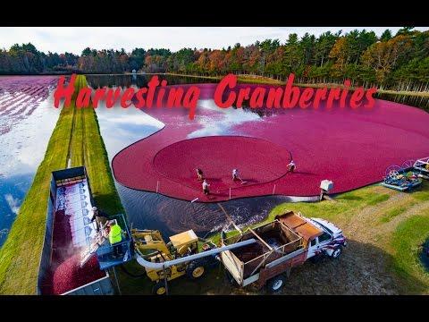 Cranberry Harvest via 4K Drone
