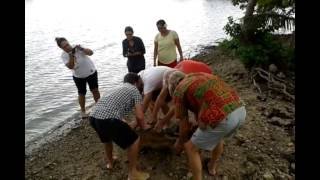 Turtle Rescued in Samoa!