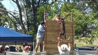 Kelpie  jumps an amazing 10 ft. ( just over 3 metres.)