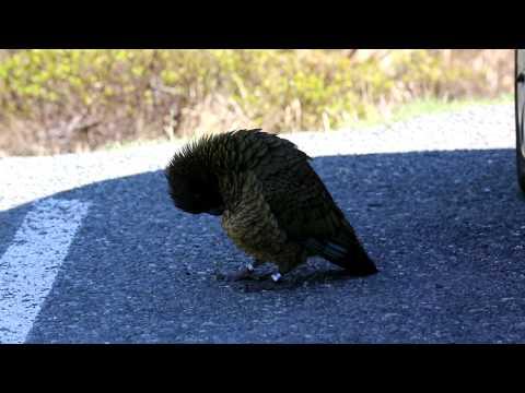 Kea Mountain Parrot