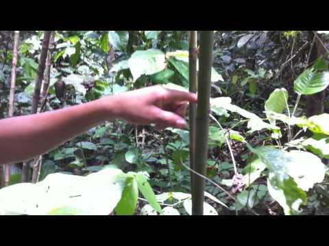 Red Ginger (Alpinia purpurata)  Flowers (on 0:36) in Peruvian Amazonia near Paucarina Lodge