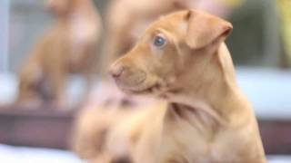pharaoh hounds puppies born at 02.06.2011 7 girls, 3 boys breeders ...