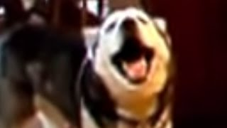 Sing Husky Sing! Cute