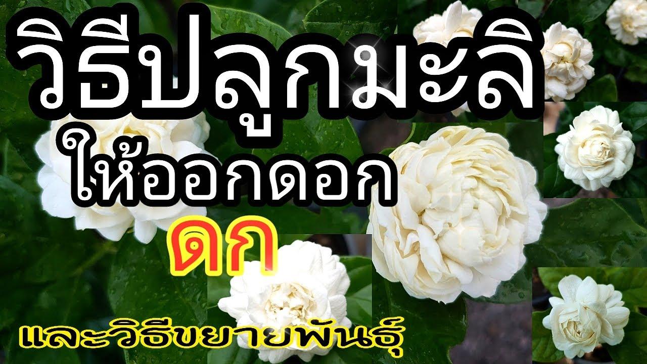 สูตร! วิธีปลูกมะลิให้ดอกดก และวิธีขยายพันธุ์ คลิปเดียวจบ how to grow jasmine