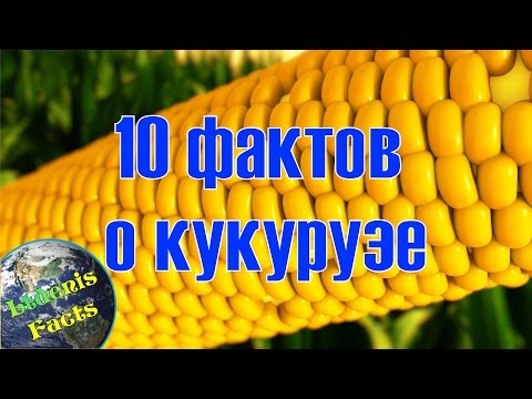 Как появилась кукуруза на земле