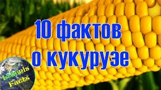 10 интересных фактов о кукурузе