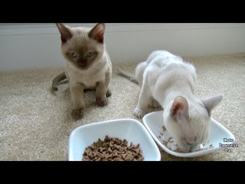 Hungry Burmese Kittens Eating Together! | Kittens Bonding!