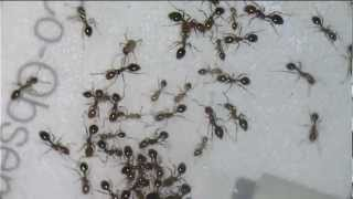 Fire ants vs. Rasberry Crazy Ants
