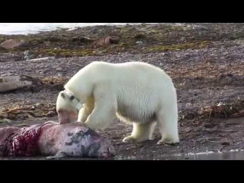 Polar Bear Female feasting on a carcass - Svalbard cruise